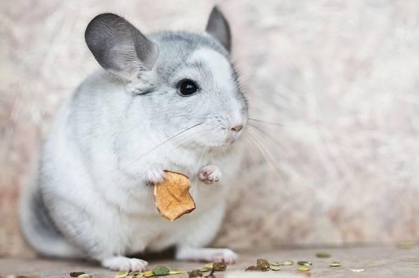 Domestic chinchilla